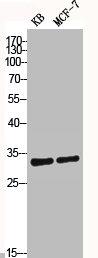 Western Blotting(WB) 2- CASP3 Antibody