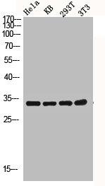Western Blotting(WB) 3- CASP3 Antibody