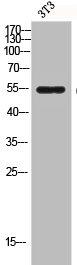 Western Blotting(WB) 1- CASP8 Antibody