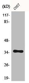 Western Blotting(WB) 1- CASP9 Antibody