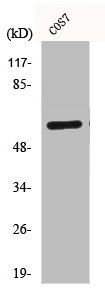 Western Blotting(WB) 1- CD19 Antibody