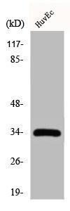 Western Blotting(WB) 1- CDK2 Antibody