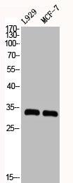 Western Blotting(WB) 2- CDK2 Antibody