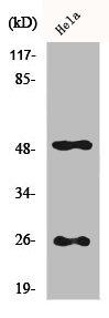 Western Blotting(WB) 1- CLU Antibody