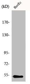 Western Blotting(WB) 1- GC Antibody