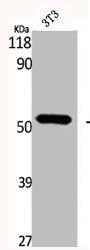 Western Blotting(WB) 2- GC Antibody