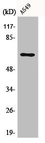 Western Blotting(WB) 1- E2F1 Antibody