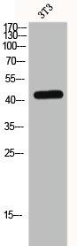 Western Blotting(WB) 1- MAPK3 Antibody