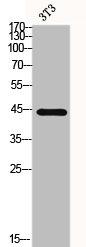 Western Blotting(WB) 2- MAPK3 Antibody