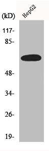 Western Blotting(WB) 1- ESR1 Antibody