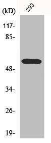 Western Blotting(WB) 1- HDAC1 Antibody