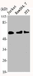 Western Blotting(WB) 2- HDAC1 Antibody