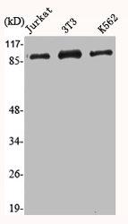 Western Blotting(WB) 2- HSP90AA1 Antibody