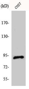 Western Blotting(WB) 1- ITGB5 Antibody