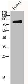 Western Blotting(WB) 1- MLH1 Antibody