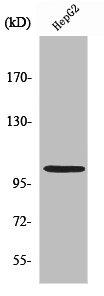 Western Blotting(WB) 1- NFKB1 Antibody