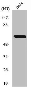 Western Blotting(WB) 1- RELA Antibody