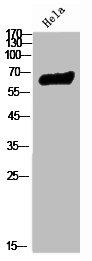 Western Blotting(WB) 2- RELA Antibody
