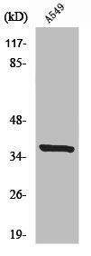 Western Blotting(WB) 1- NRBF2 Antibody