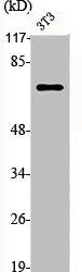 Western Blotting(WB) 2- TP73 Antibody