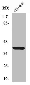 Western Blotting(WB) 1- APEX1 Antibody