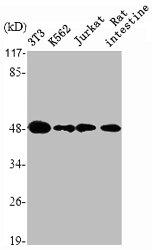 Western Blotting(WB) 2- HDAC3 Antibody