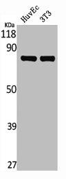 Western Blotting(WB) 2- MAPT Antibody