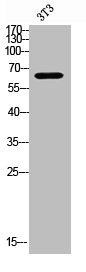 Western Blotting(WB) 2- TGFBR2 Antibody