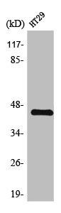 Western Blotting(WB) 1- TGFB1 Antibody