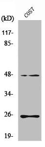 Western Blotting(WB) 1- TGFB3 Antibody
