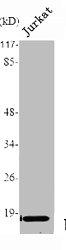 Western Blotting(WB) 1- TNF Antibody