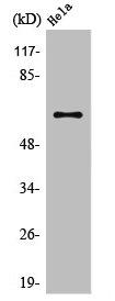 Western Blotting(WB) 1- TRAF3 Antibody