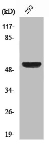 Western Blotting(WB) 1- XIAP Antibody