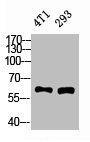 Western Blotting(WB) 2- XIAP Antibody