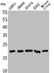 Western Blotting(WB) 1- VEGFA Antibody