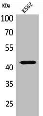 Western Blotting(WB) 1- JAM2 Antibody