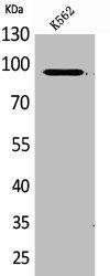 Western Blotting(WB) 1- MCM3 Antibody