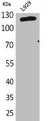 Western Blotting(WB) 1- LAMP1 Antibody