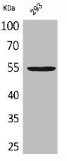 Western Blotting(WB) 1- GDF5 Antibody