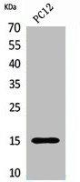 Western Blotting(WB) 1- Histone H4 Antibody