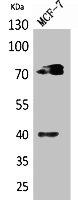 Western Blotting(WB) 1- MPL Antibody