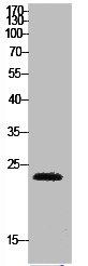 Western Blotting(WB) 1- HMGB1 Antibody