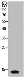 Western Blotting(WB) 1- Histone H2A Antibody