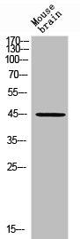 Western Blotting(WB) 2- RHD Antibody