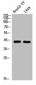Western Blotting(WB) 2- BMP2 Antibody