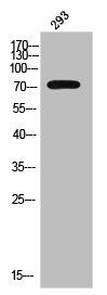 Western Blotting(WB) 1- Phospho-CTNNB1 (Y654) Antibody