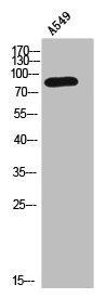 Western Blotting(WB) 1- CTNNB1 Antibody