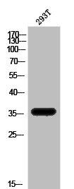 Western Blotting(WB) 1- APOE Antibody