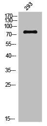 Western Blotting(WB) 1- Phospho-MAPT (S356) Antibody