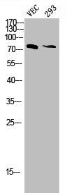 Western Blotting(WB) 1- Phospho-MAPT (T205) Antibody
